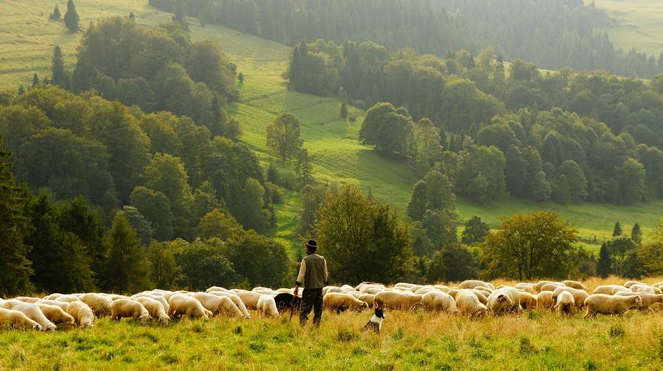 sheep-690198_960_720